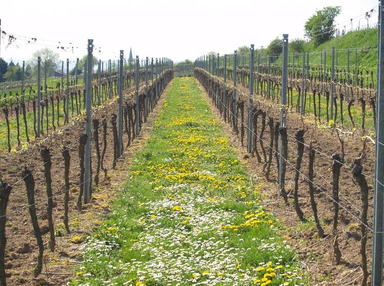 Rebzeilen zu Beginn des Frühjahrs - Weingut Neumühle Prior in Worms