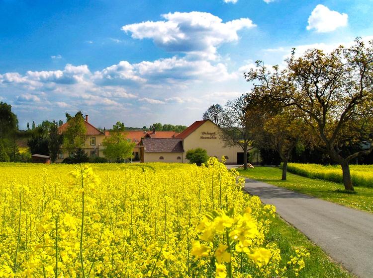 Blühender Raps am Weingut Neumühle Prior in Worms im Frühling