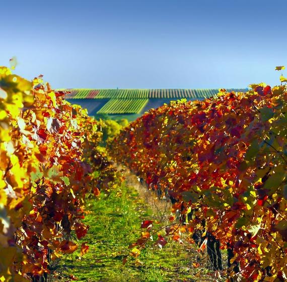 Herbstimmung mit schön gefärbten Weinblättern  in den Weinbergen des Weingut Neumühle in Worms