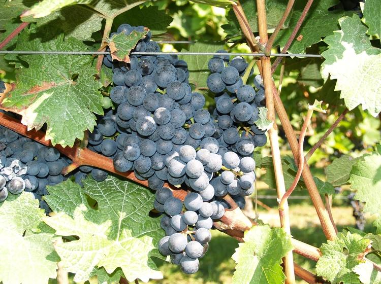 Rotweintrauben-kurz-vor-der-Lese-Weingut-Neumühle-Worms